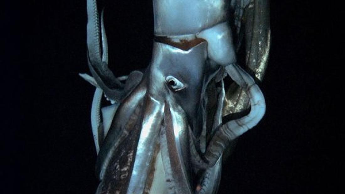 Calamar gigante es grabado en vídeo en las profundidades del Pacífico