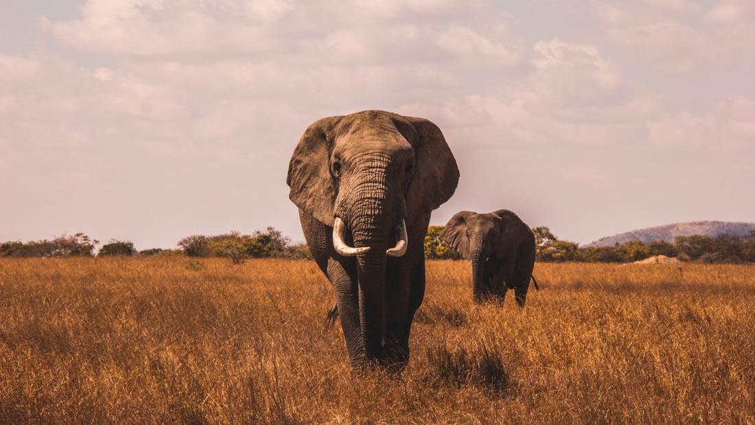 Casi 400 elefantes fueron asesinados en dos años en Bostwana, África