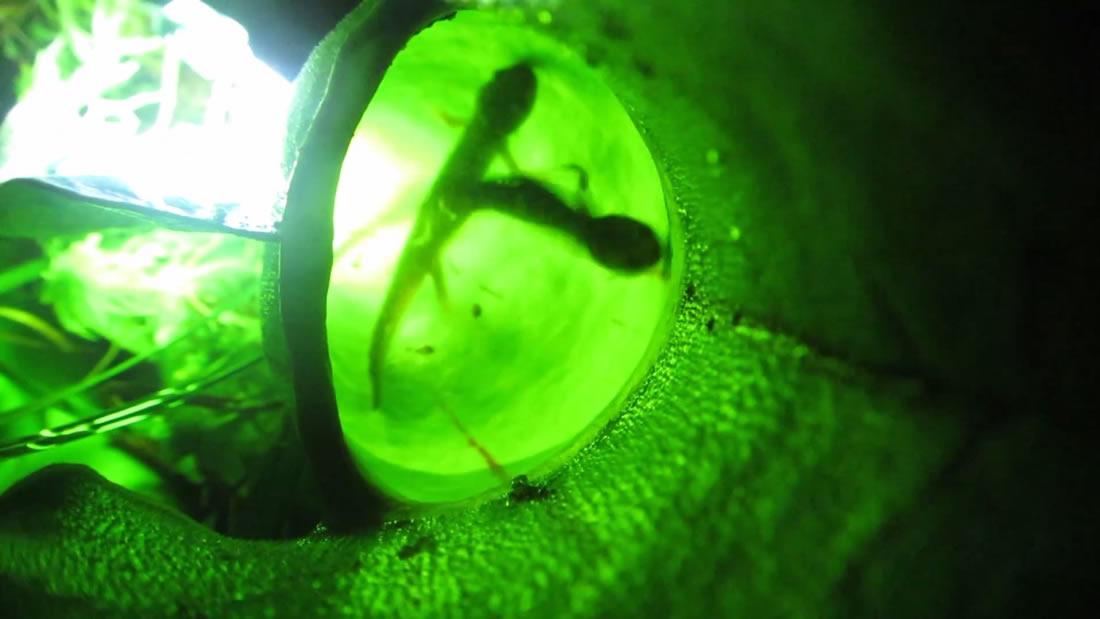 Investigadores descubren una planta carnívora en Canadá y come hasta salamandras
