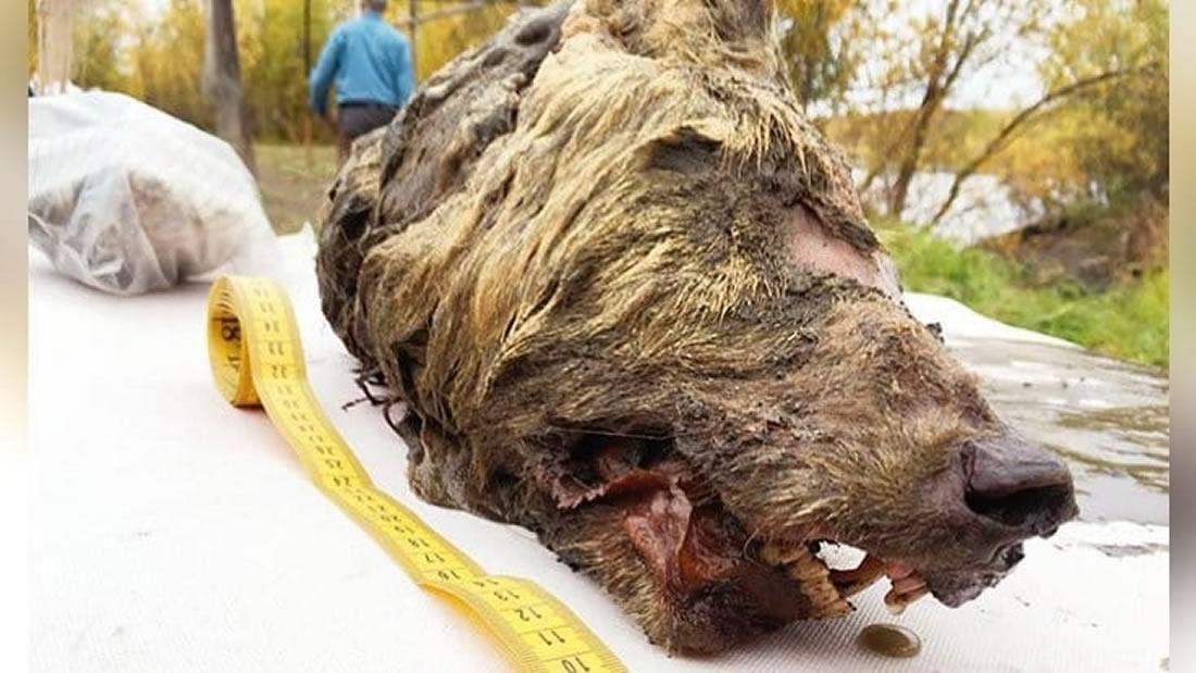 Una cabeza de lobo gigante cortada de hace 40.000 años ha sido hallada en Siberia