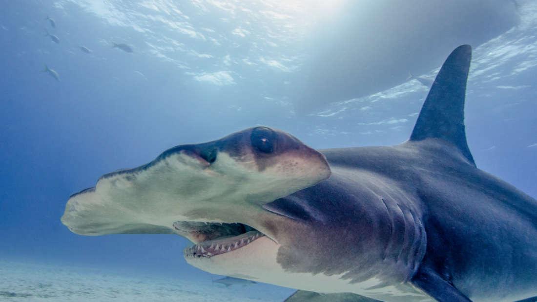 Tiburón martillo visto en aguas irlandesas es un signo del calentamiento del mar
