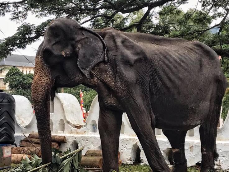 Elefante viejo y hambriento es obligado a participar en festival budista en Sri Lanka