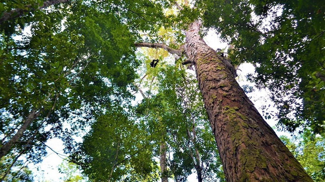 El árbol más grande de la Amazonía, de 88 metros, está a salvo de los incendios