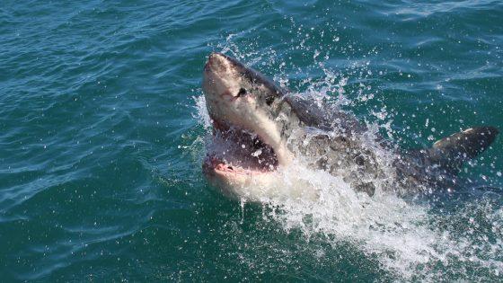 Algo enorme dio dos grandes mordiscos en la cabeza de un gran tiburón blanco
