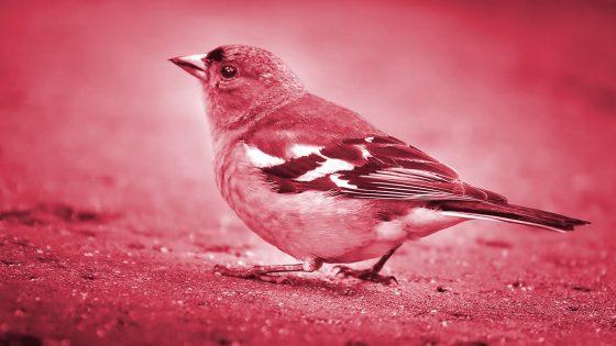 Científicos implantan recuerdos en cerebros de pájaros