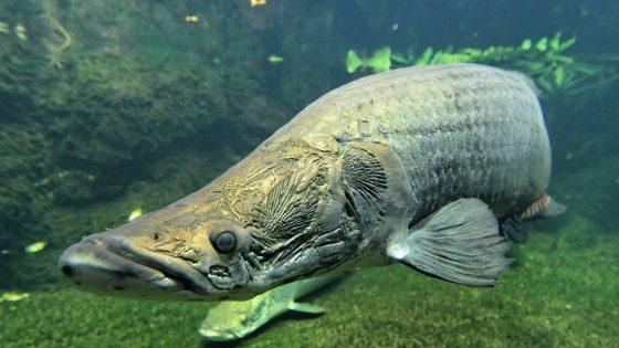Este impresionante pez posee escamas a prueba de pirañas como una armadura de caballero medieval