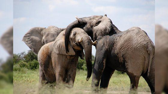 Elefantes africanos se extinguirán en 2040 sino actuamos ahora, dice WWF