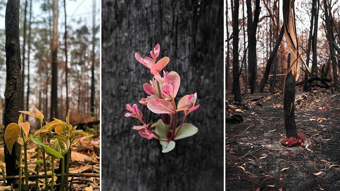 Bosques de Australia se niegan a morir y renacen entre las cenizas