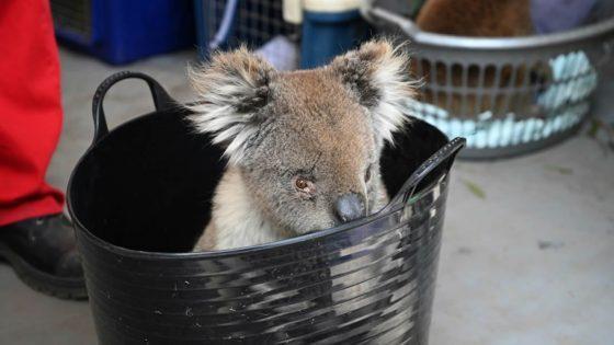 Improvisado Hospital Koala en Australia lucha para salvar a animales heridos en incendios forestales