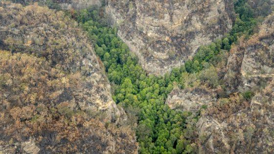 Misión secreta salvó los últimos «árboles de dinosaurios» de Australia de los incendios forestales