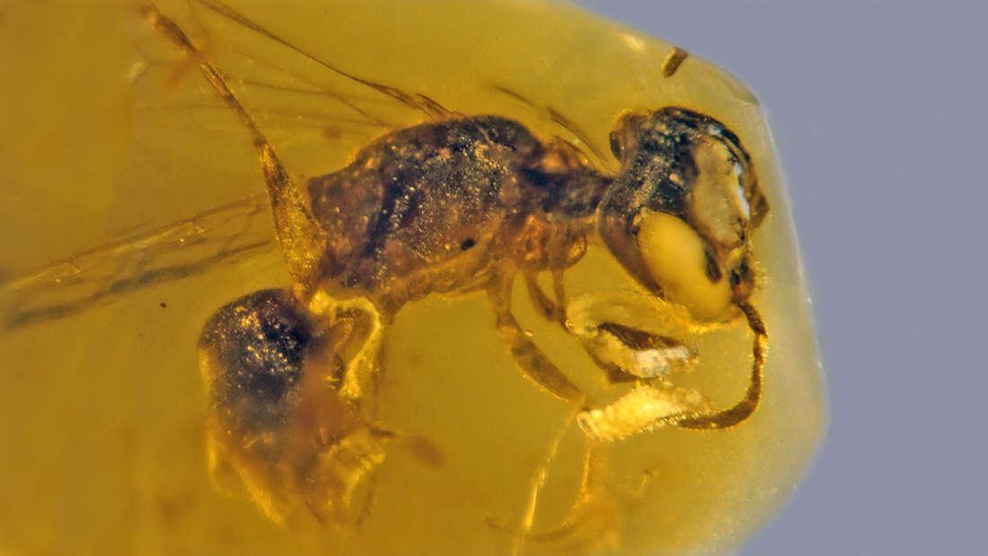Hallan la abeja primitiva más antigua conservada en ámbar de hace 100 millones de años