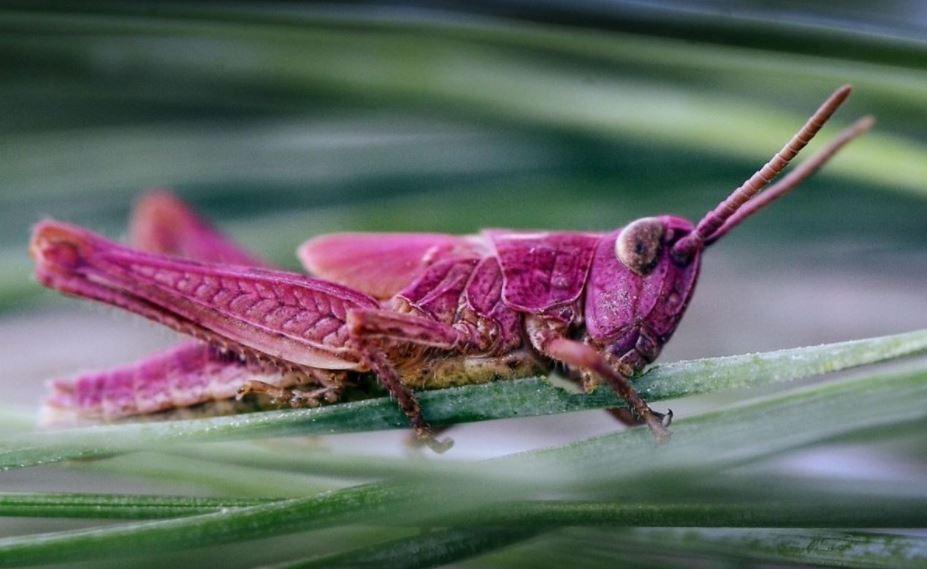 Extraño saltamontes rosado brillante descubierto en Texas