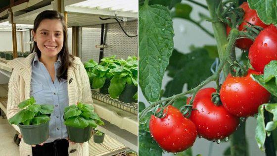 Científica colombiana ayuda a proteger los tomates de amenazas microbianas