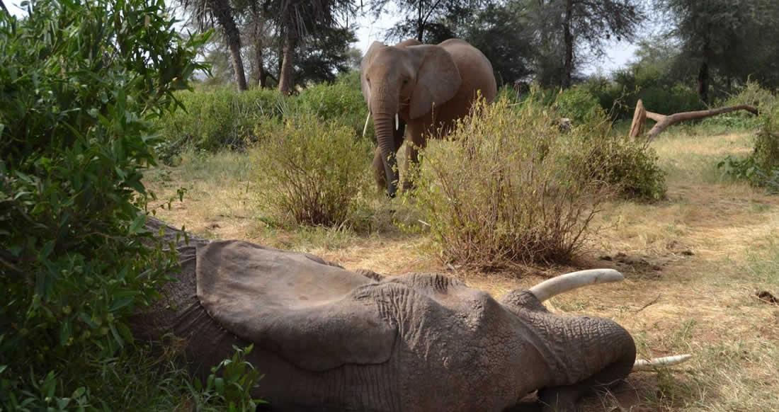 La historia de un elefante no termina cuando muere