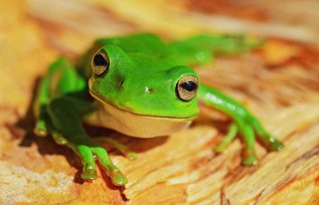¿Cómo demonios entró esta rana viva dentro de un pimiento verde?