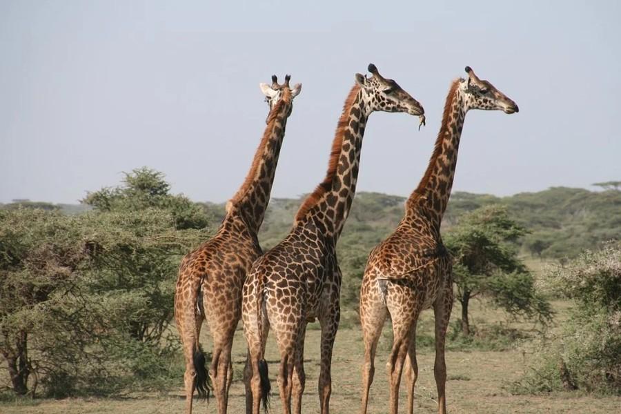 Las Jirafas, el animal más alto del planeta, en peligro de extinción