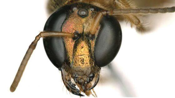 Abeja extremadamente rara, mitad macho y mitad hembra, hallada en Panamá