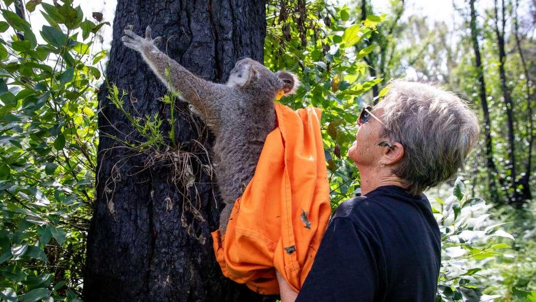 Koalas que resultaron heridos en incendios forestales en Australia están siendo liberados