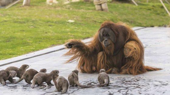 ¡Peculiares amigos! Orangután y varias nutrias juegan juntos