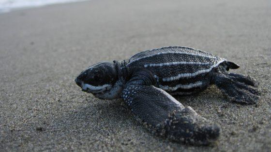 Playas vacías por cuarentena conducen al retorno de los nidos de tortugas marinas
