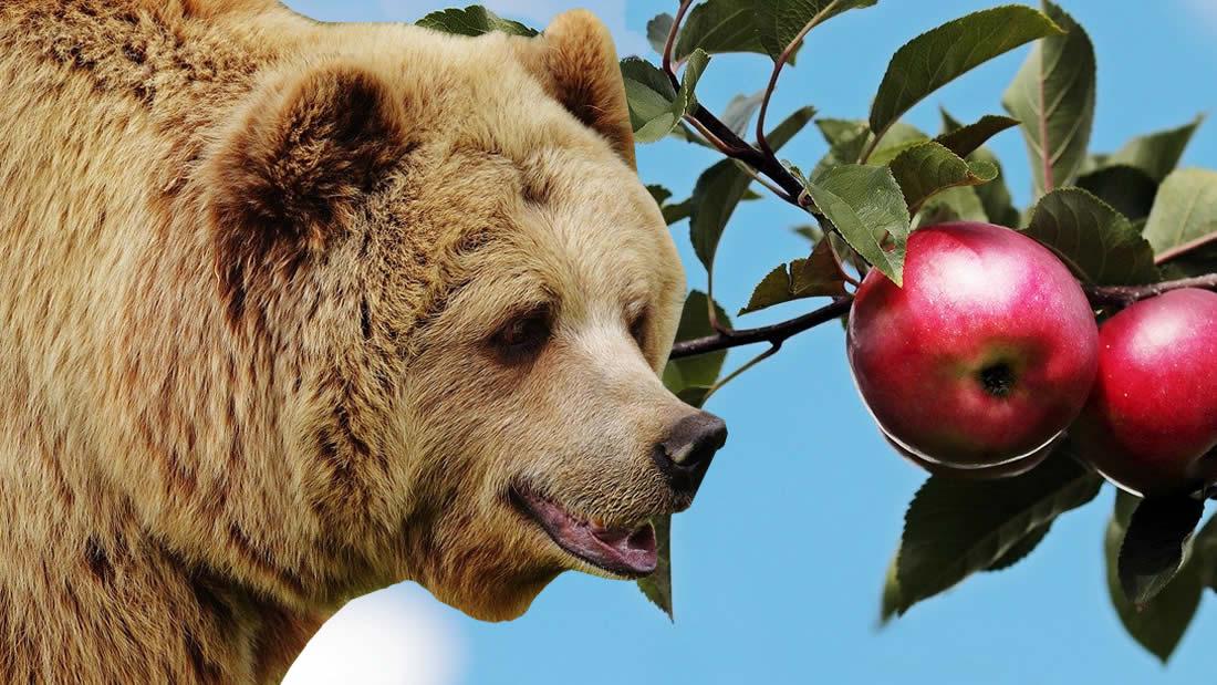 ¿Por qué los italianos cultivan manzanas para los osos salvajes?