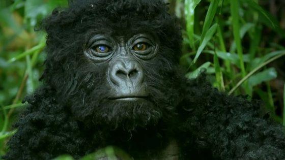 Robot «Spy» Gorilla graba a los gorilas cantando por primera vez