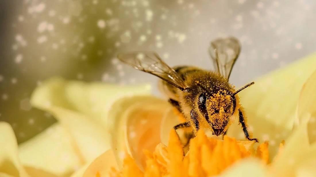 Las abejas melíferas luchan con su propia pandemia