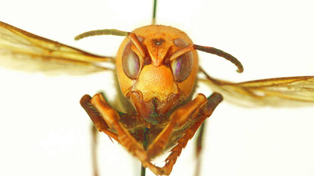Científicos esperan cazar «avispones asesinos» antes de que acaben con las abejas