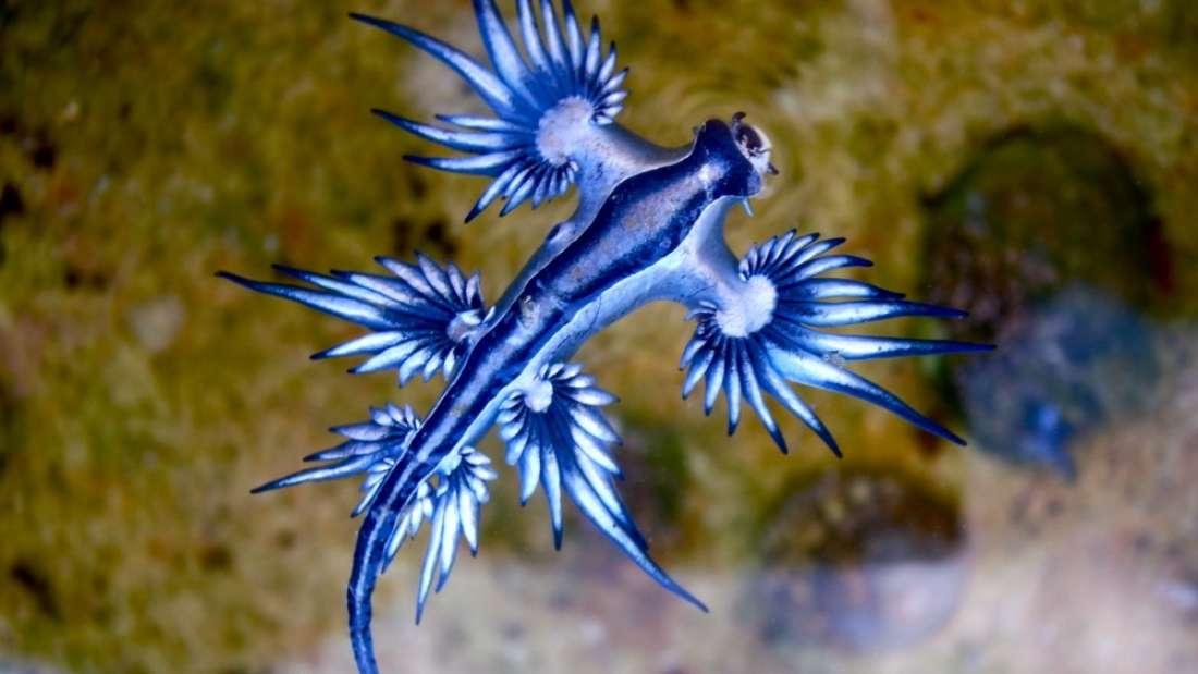 Extraños y peligrosos «Dragones Azules» están apareciendo en las costas de Texas