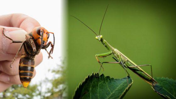 Mantis religiosa se lanza sobre avispón asesino y devora su cabeza