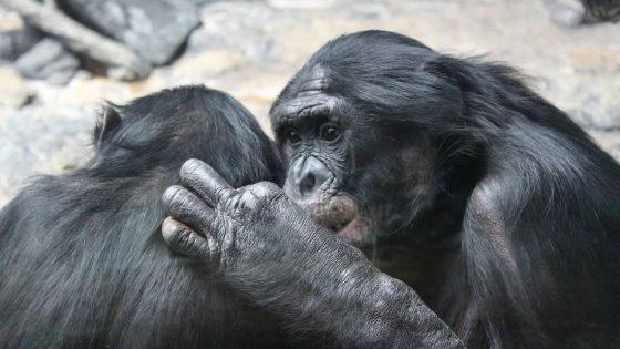 Simios y la pandemia: escapan de la caza furtiva y ahora luchan con un nuevo enemigo