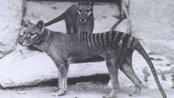 El último vídeo del «extinto» Tigre de Tasmania ha sido lanzado al público