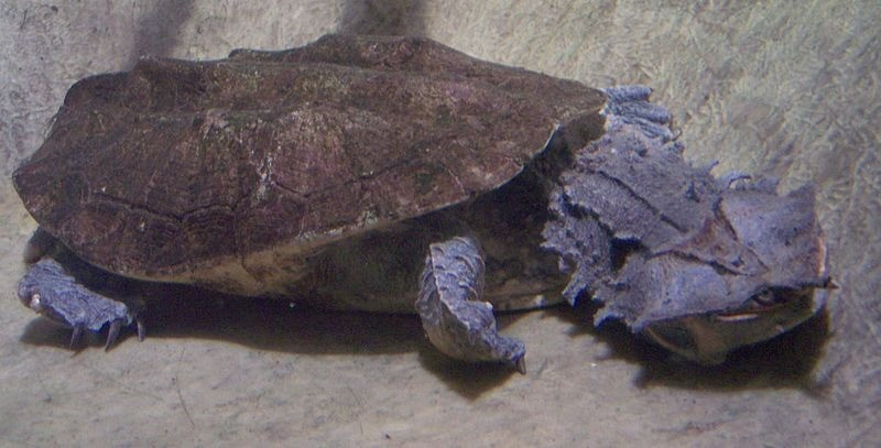 Descubren nuevas especies de Tortugas matamata ¿Sabías que existían?