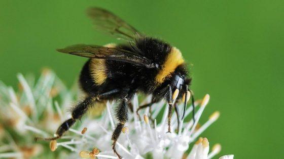 Los abejorros muerden las plantas para obligarlas a florecer (sí, en serio)
