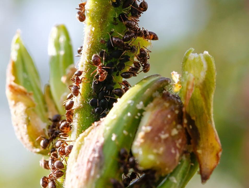 Las hormigas están polinizando