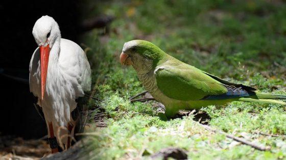 Pericos salvajes anidan junto a cigüeñas para evitar a los depredadores