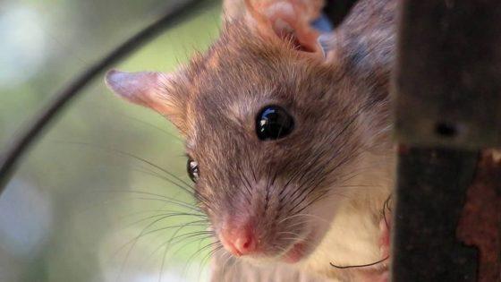Las ratas están más agresivas buscando comida en medio del cierre de restaurantes, advierte el CDC