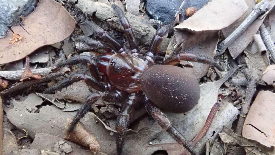 Descubren nuevo grupo de «arañas trampilla» maestras del camuflaje en Australia
