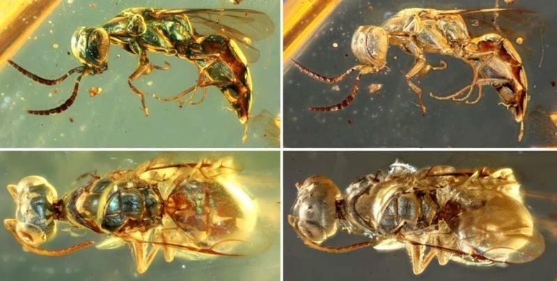 Muestras de ámbar revelan colores vivos de insectos de 99 millones de años