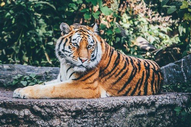 Tigres en peligro de extinción enfrentan nuevas amenazas por construcción de carreteras en Asia