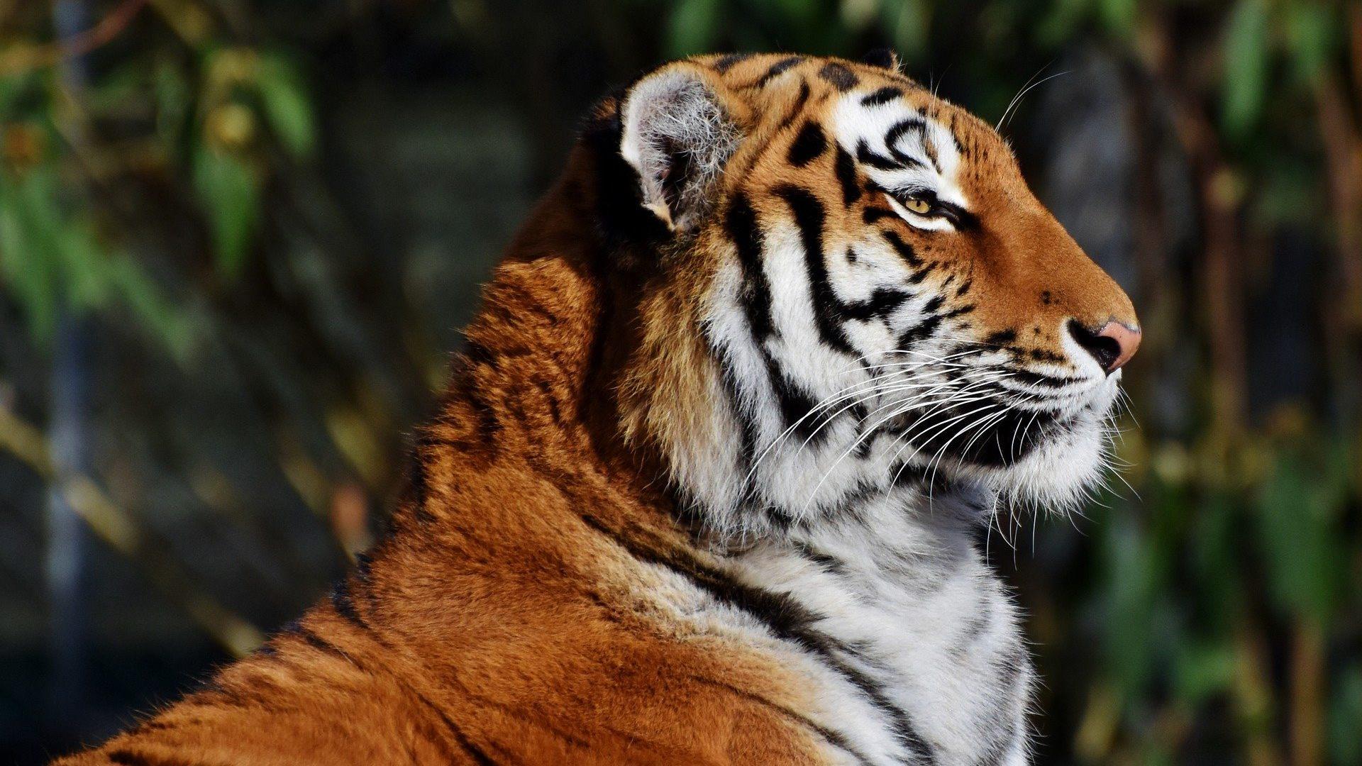 Los tigres en peligro de extinción enfrentan amenazas por la construcción de carreteras en Asia