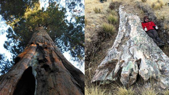 Hallan gigante árbol fósil de 10 millones de años en Perú