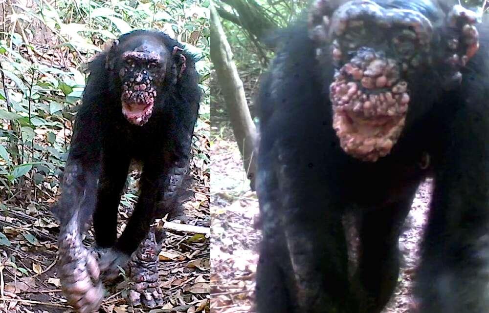Detectan Lepra en chimpancés salvajes por primera vez
