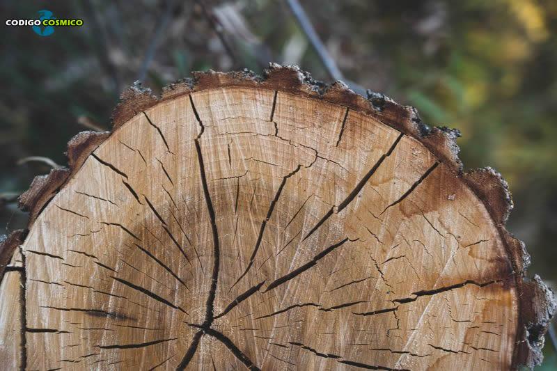 Anillos de antiguos árboles revelan supernovas