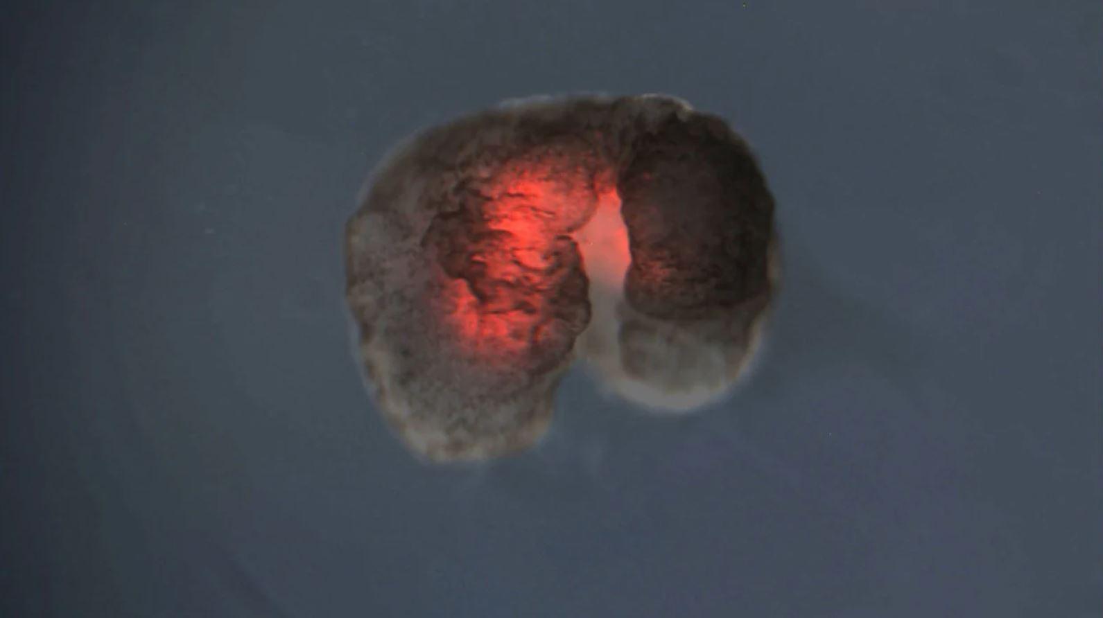 Científicos construyen célula artificial que crece y se auto replica como una natural