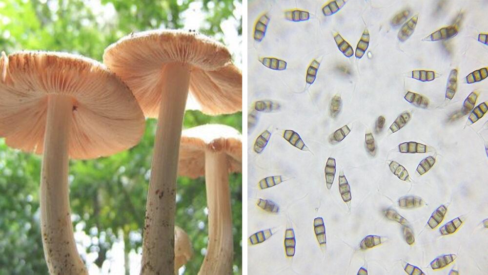 Pestalotiopsis microspora: El Hongo que come plástico y lo convierte en materia orgánica