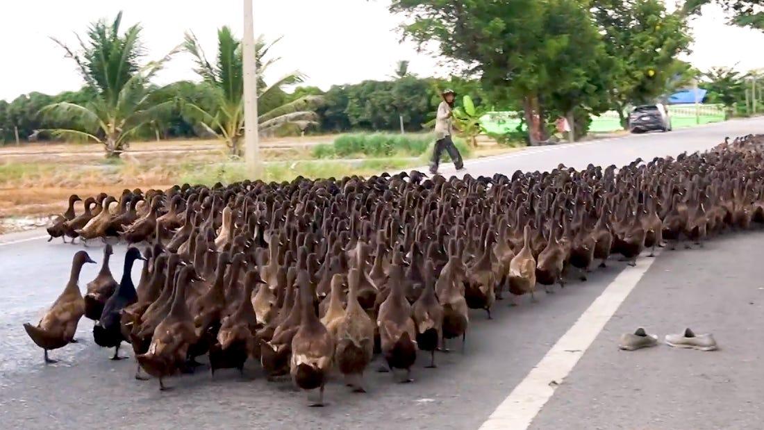 Hay aproximadamente 30 millones de patos criados en Tailandia, y casi una cuarta parte de ellos eran patos que cazaban en el campo