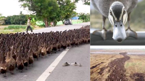En Tailandia usan miles de patos para limpiar los arrozales de plagas y evitar los pesticidas