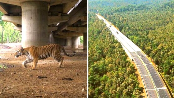 India: Construyen una autopista en el aire para no afectar hábitat de tigres